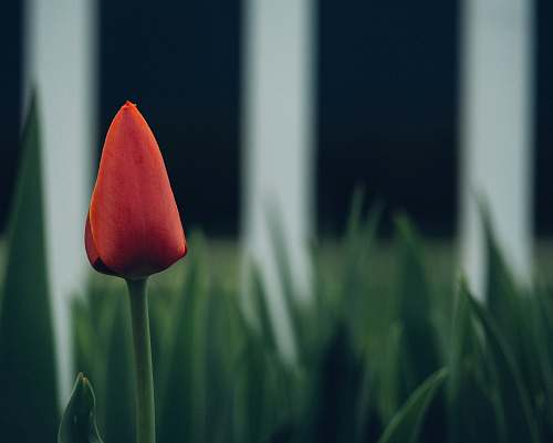 plant selective focus photography of red tulip flower tulip
