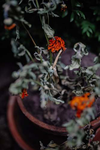 pot selective focus photography of withered red petaled flower flora