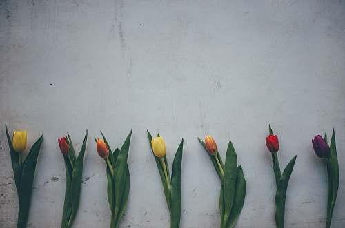 blossom seven tulip flowers tulip