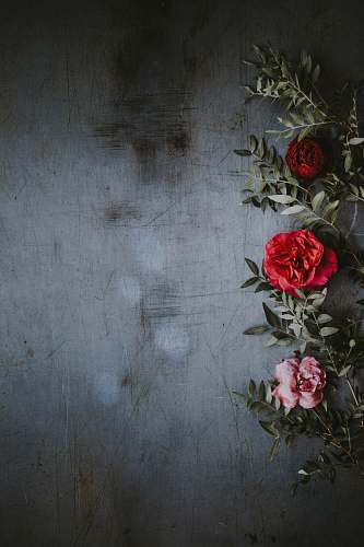 plant shallow focus photography of red and pink roses background