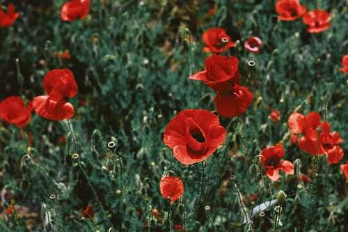 poppy shift-tilt lens photography of red flowers flora