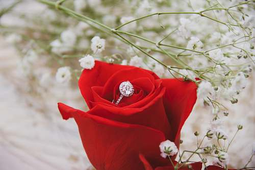 rose silver-colored ring on top of rose plant