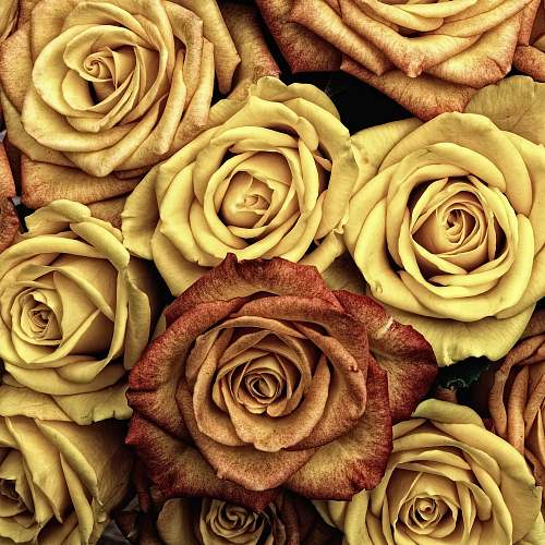 rose yellow and brown roses yellow