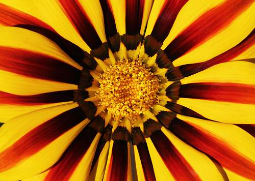 blossom yellow and red petaled flower macro photography flora
