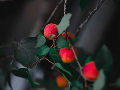 plant round red fruit fruit