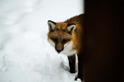 wildlife orange fox standing on snow during daytime animal