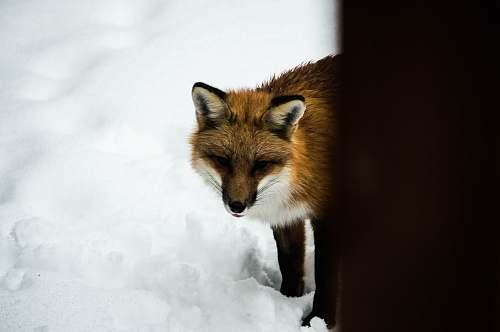 wildlife orange fox standing on snow during daytime animal
