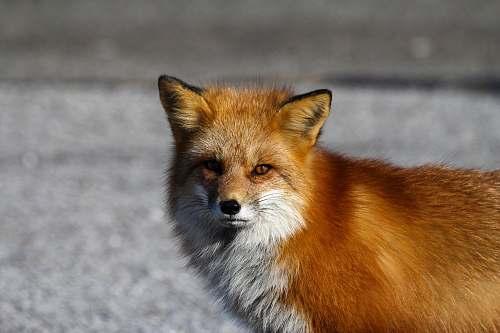 wildlife red fox standing on floor animal