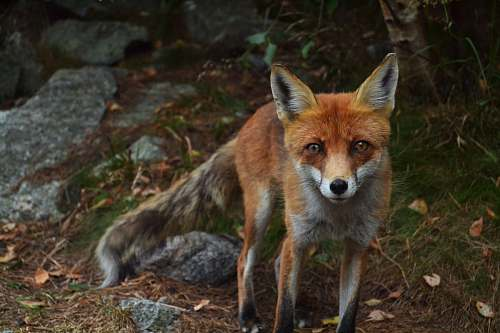 animal shallow focus photography of fox wild