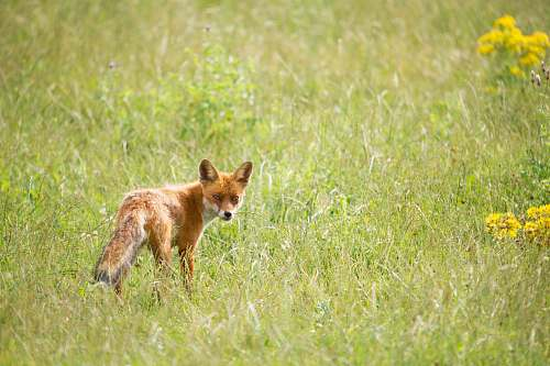 wildlife wildlife photography of orange fox mammal