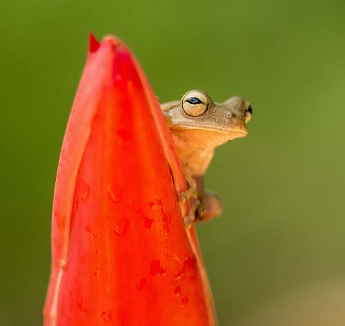 photo animal selective focus photography of brown frog on red plant amphibian free for commercial use images