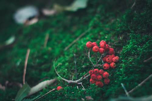 berry photo of red berries flora