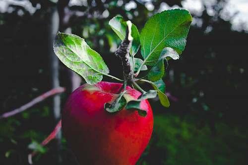 apple red apple fruit blur