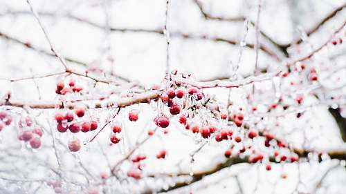 red round red fruits on bare tree berries
