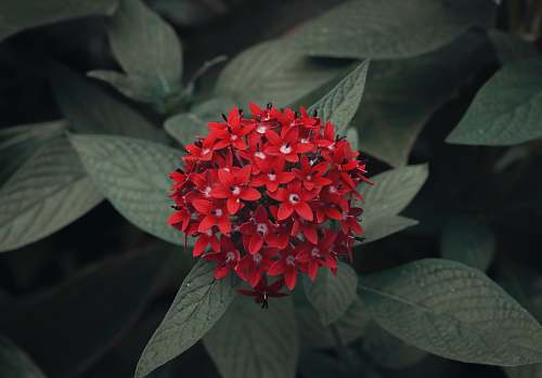person closeup photo of red ixora flower flower