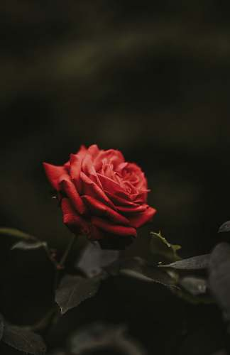 flower closeup photo of red rose flower rose