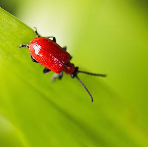 animal macro shot photo of a red bug on green leaf invertebrate