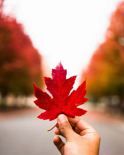 flora person holding red maple leaf maple leaf