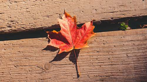 autumn red maple leaf fall