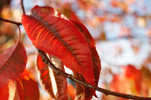 autumn red withering leaves macro photography leaves