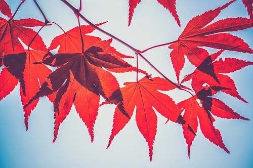 fall selective focus photography of red maple leaves autumn