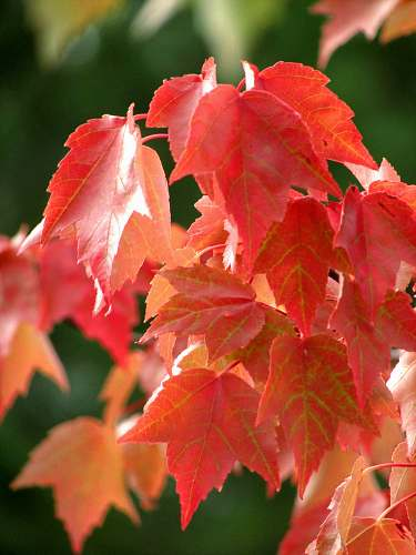 plant shallow focus photo of red leaves tree