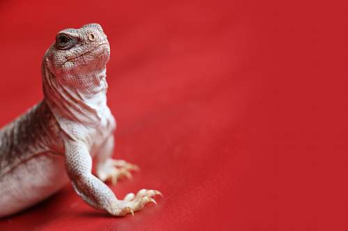 iguana gray bearded dragon animal