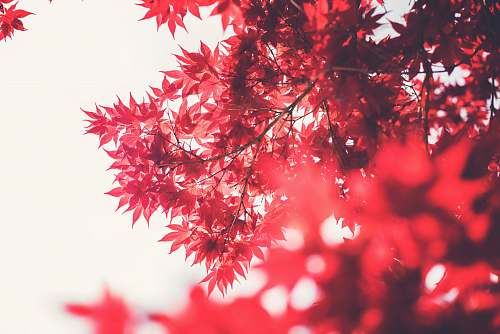 tree selective focus photography of maple tree leaves