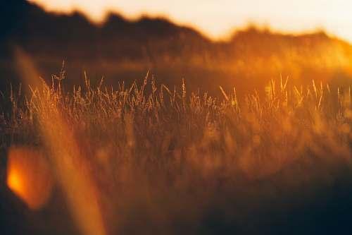 sunset green grass during golden hour sunrise