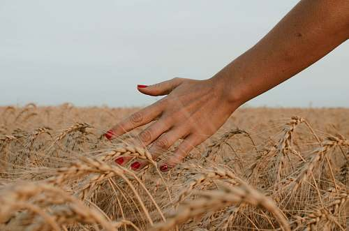 countryside person touching brown wheat under white sky during daytime harvest