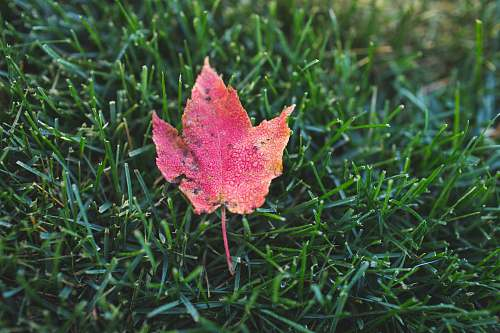 leaf photo of red maple leaf on green grass green