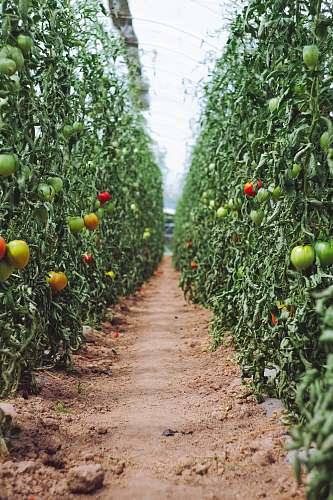 food selective focus photography of pathway between tomato plants hüttendorf