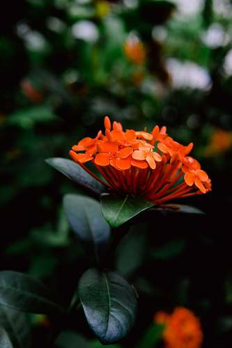 person close up photography of orange petaled flowers human