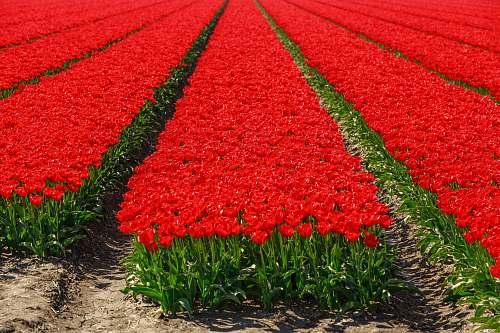 tulip bed of roses blossom