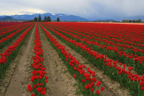 flower blooming red flowers on field blossom
