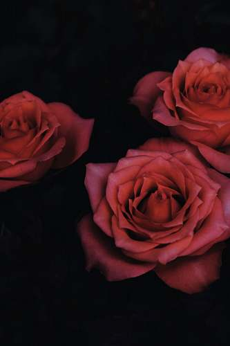 flower chiaroscuro photography of three red roses rose