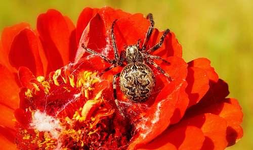 flower closeup photo of barn spider on red flower animal