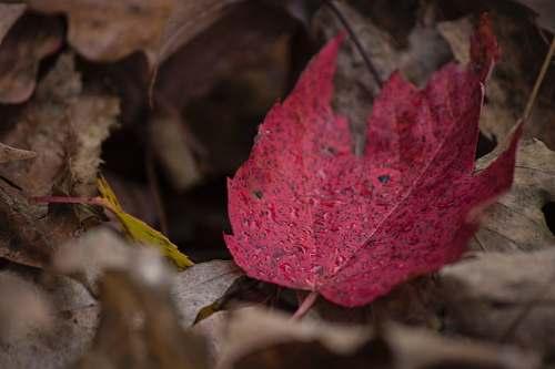 leaf closeup photography of red leaf maple leaf