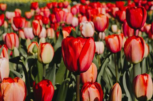 flower closeup photography of red tulips flowers tulip