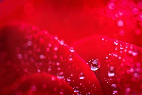 droplet macro photography of water droplets red