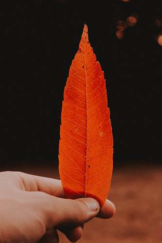 human person holding brown leaf person
