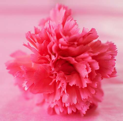 flower pink petaled flower carnation