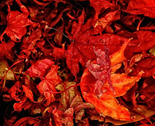 leaf red and orange leaves close-up photography tree