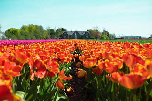 flower red-and-yellow petaled flower field near house at under teal sky flora