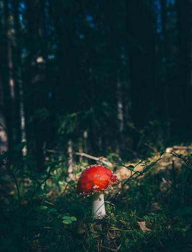 flora red cap mushroom surrounded by grass in forest mushroom