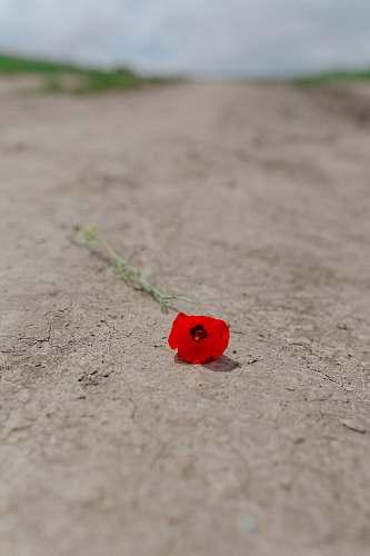 blossom red flower on gray surface flower