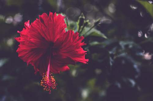 flower red hibiscus flower blossom
