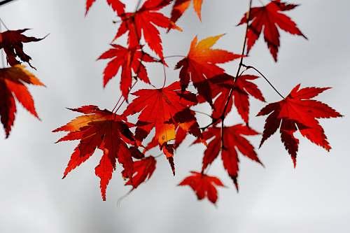 leaf red maple leaves tree