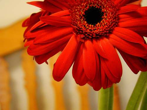daisies red petaled flower daisy