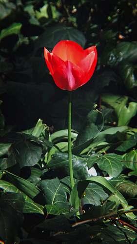 flower red petaled flower blossom